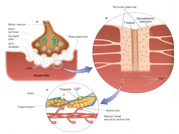 مکانیسم انقباض تار عضلانی