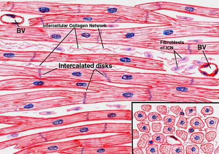 Cardiac-muscle-