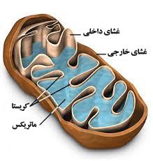 Image result for میتوکندری چیست