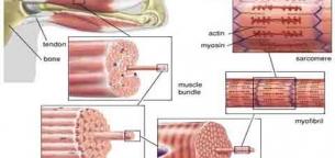 actin-filaments-and-myosin-