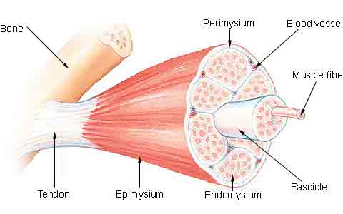 muscle-fiber-r