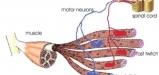فراخوانی تار عضلانی