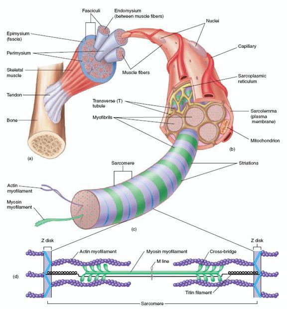فیزیولوژی عضلات