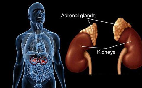 adrenal-glands-