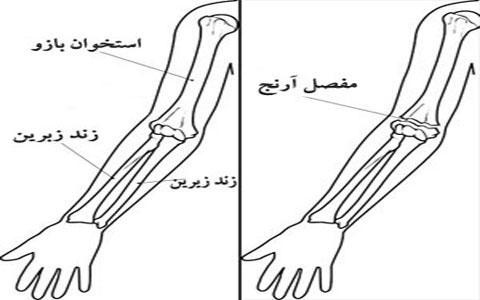 آناتومی استخوان های ساعد