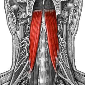آناتومی عضلات سر ، صورت و گردن