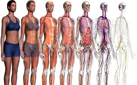 آشنایی با آناتومی انسان