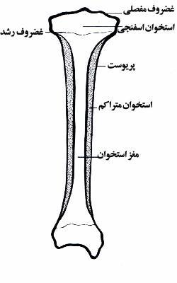 آناتومی اسکلت بدن انسان