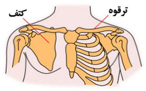 آناتومی استخوان های شانه