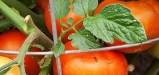 TomatoLeaves-