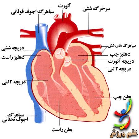نتیجه تصویری برای آناتومی قلب