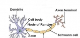 Neuron-