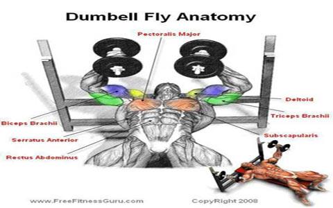 dumbell-fly-anatomy-1-elmevarzesh