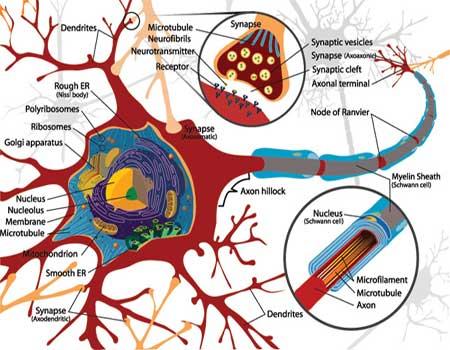 آناتومی سیستم عصبی بخش دوم