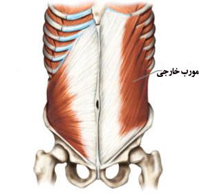 آناتومی عضلات شکم