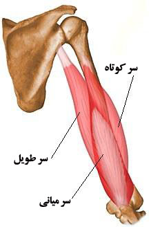آناتومی عضلات بازو