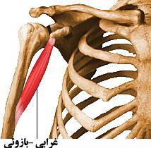 آناتومی عضلات شانه