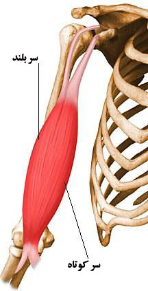Biceps-brachii-elbow