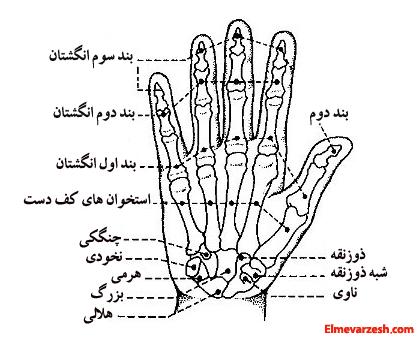 آناتومی استخوان های دست