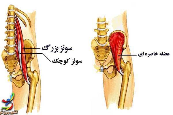 آناتومی عضلات لگن خاصره