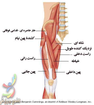 quadriceps-femoris