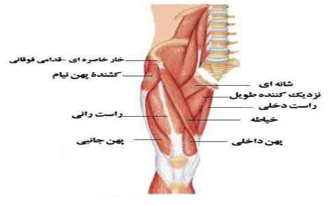 quadriceps-femoris-