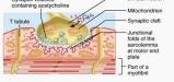 neuromuscular-junction