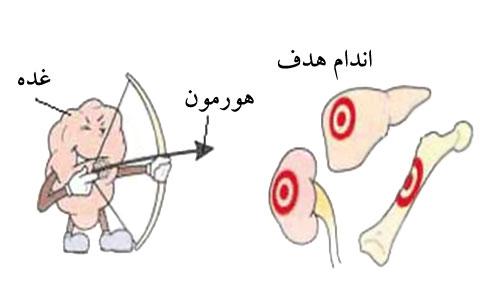 آناتومی دستگاه غدد