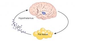 چرا سلولهای مغز از چربی سوزی در دوران رژیم لاغری جلوگیری میکنند؟