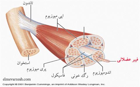 فیبر عضلانی چیست و چرا به هدف ورزش وابسته است؟